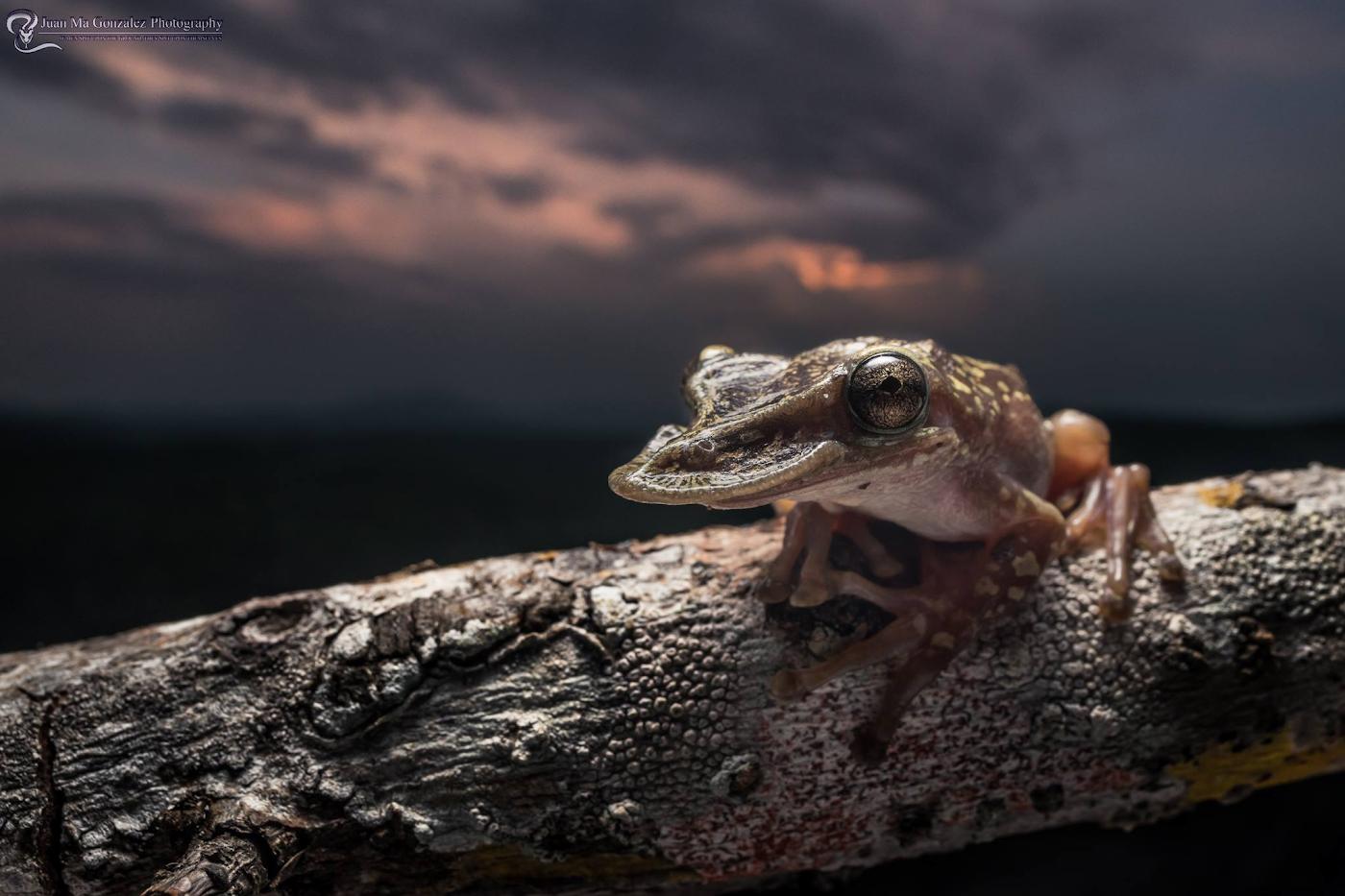 31. Лягушка Triprion pululatus, относящаяся к семейству квакш. Эндемик Мексики. Пример макросъемки на Laowa 15mm f4 1:1 Macro и тушку Nikon D5600.