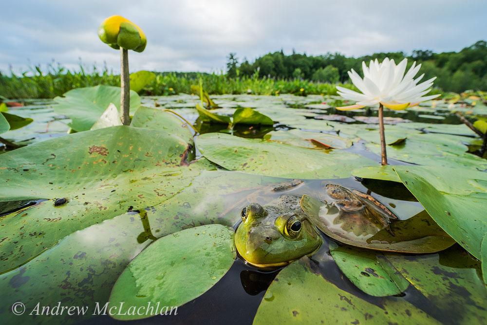 Фото 7. Лягушка-бык в болоте. Камера Nikon D800. Тест макрика Laowa 15mm f4 1:1 Macro. Настройки: ISO 800, f16 @ 180 сек. Снято с рук в формате FX.