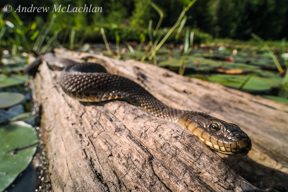 Фото 16. Фотоохота на северного американского ужа в болотах Канады. Снято с рук на полный кадр Nikon D800 и макрообъектив Laowa 15mm f4 1:1 Macro. Параметры: 800, 16, 1/160, съемка с рук, режим FX.