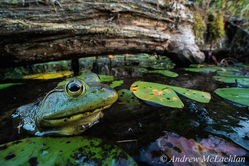 Фотография 15. Тестирование Laowa 15mm f4 1:1 Macro во время фотоохоты на лягушек. Тушка Nikon D800. Параметры: ISO 5000, f16 @ 1/25, штатив не использовался, FULL FRAME.
