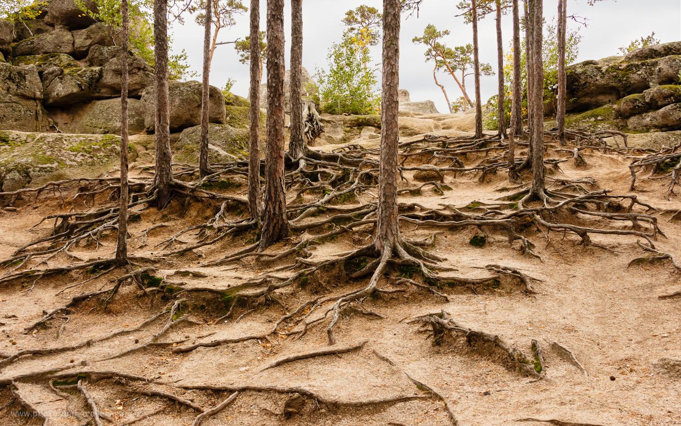 Фотография 10. Корни деревьев на склоне скал вокруг озера Боровое. Отчет о путешествии в Казахстан из Свердловской области на автомобиле. 1/160, +0.3, 8, 400, 18.