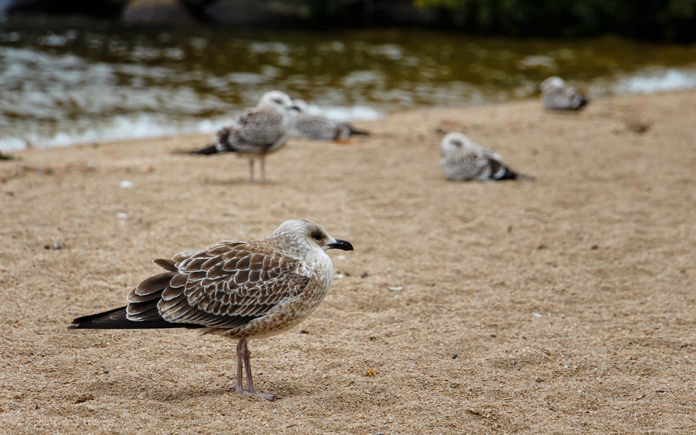 Фото 36. Скучающие по туристам чайки на озере Боровое. Как мы отдохнули в Казахстане. Отчет о поездке в Бурабай. 1/800, +0.33, 5.6, 400, 135.