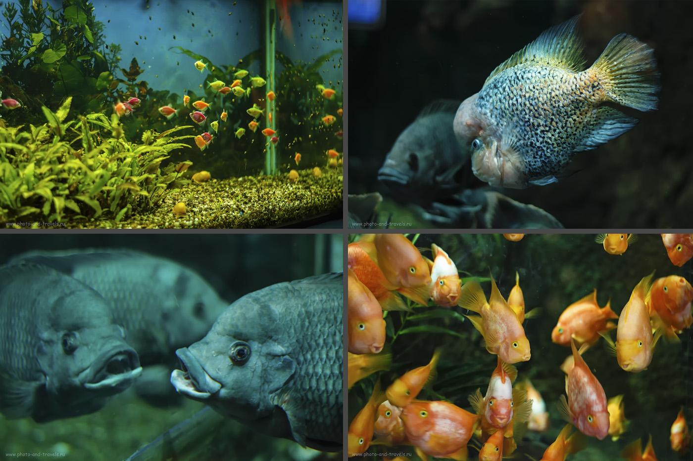 Фотография 42. Разноцветные рыбки в океанариуме Астаны. Снято на Canon 650D и объектив Yongnuo YN 50mm f/1,8 II. Настройки: ISO 800, f/1.8, В=1/80, ФР=50.