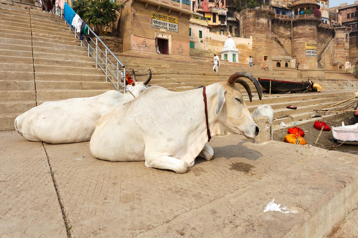 Фото 19. Корова и мусорные мешки. Про антисанитарию в Индии или про ее отсутствие (1/400; 0; 8; 100; 17).