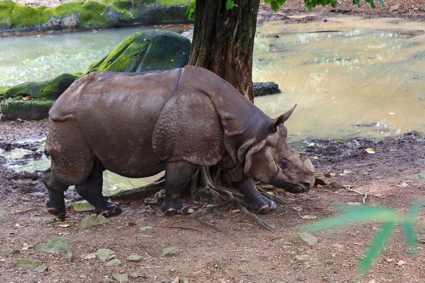 Фото 26. Носорог, да без рога. Какие достопримечательности посмотреть в Керале? Только не зоопарк Тируванантапурама (Canon EF 70-200 f/ 4L IS USM; 1/100; -1; 6.3; 640; 93).