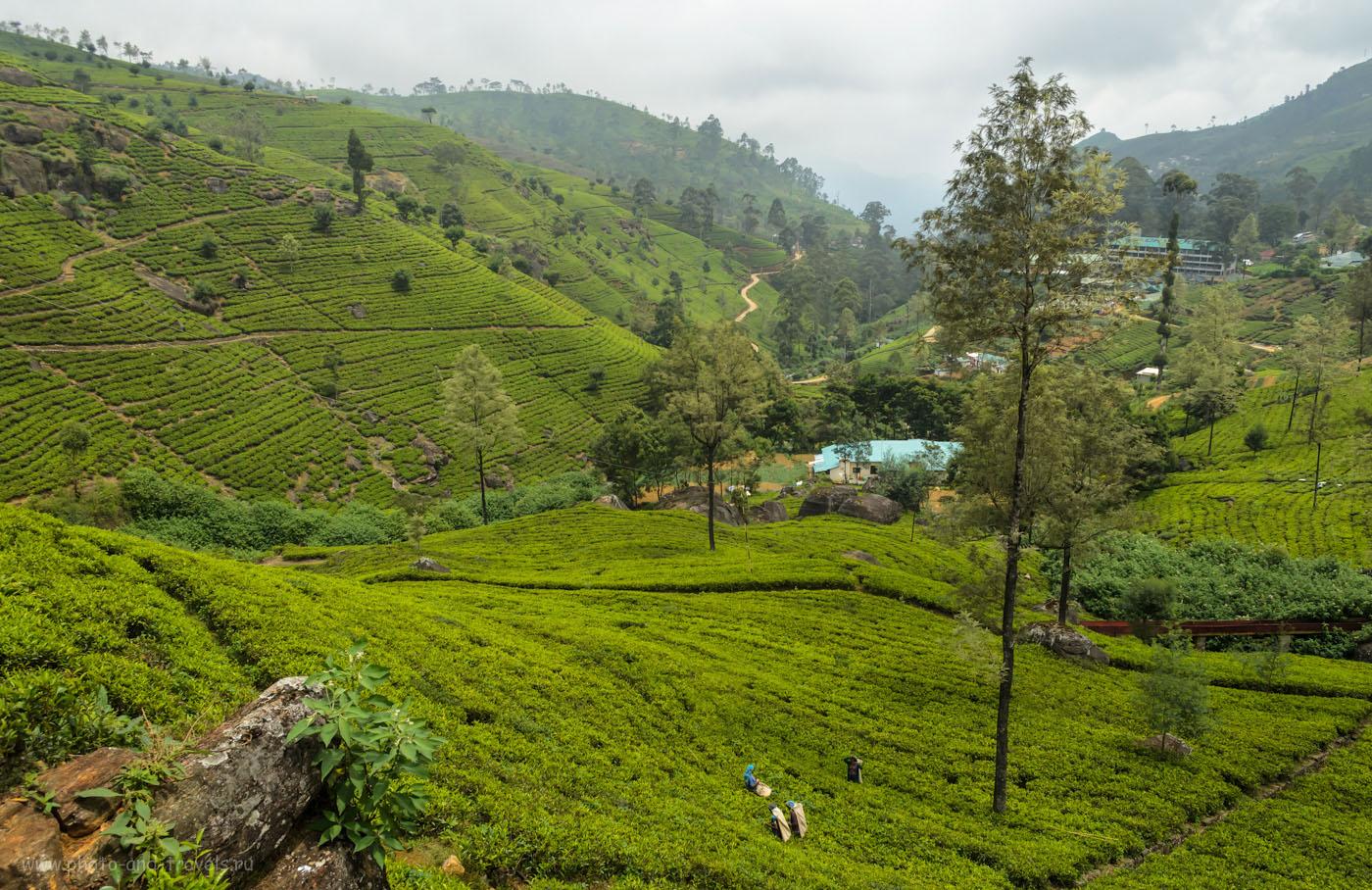 Фотография 4. Чайные плантации, принадлежащие фабрике Mackwoods Labookellie в горах Шри-Ланки. Находится совсем рядом с Нувара Элия. Чтобы добраться на автобусе, сядьте на автостанции в Nuwara Eliya на маршрут, следующий Kandy. Проход на территорию бесплатный! Не поддавайтесь на уловки.