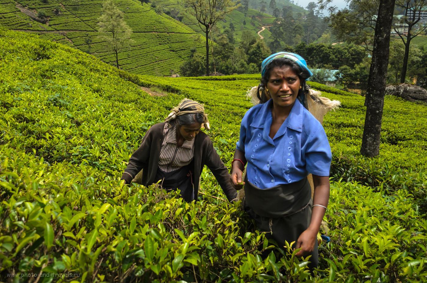 7. Фотосессия со сборщицами чая на плантациях Mackwoods Labookellie в окрестностях города Нувара Элия. Отзывы туристов о самостоятельном отдыхе на Шри-Ланке в мае.