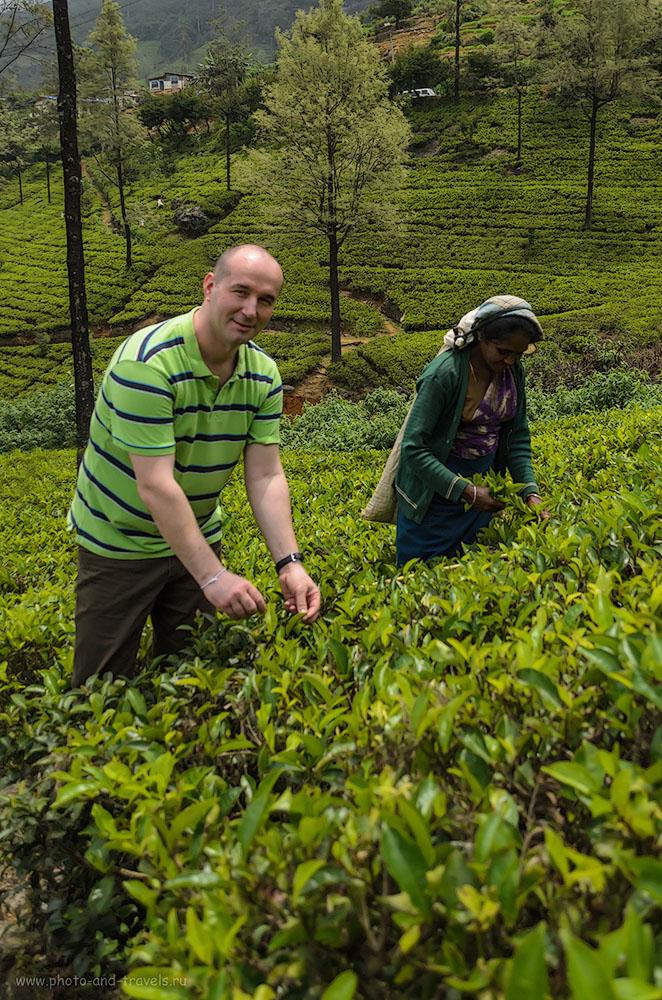 Фотография 10. Обычно чай собирают женщины, но если нет, чем расплатиться за поездку на чайную фабрику, придется отрабатывать и мужикам тоже. Отчет о путешествии по Шри-Ланке самостоятельно. Поездка из Нувара Элия в Канди на автомобиле.