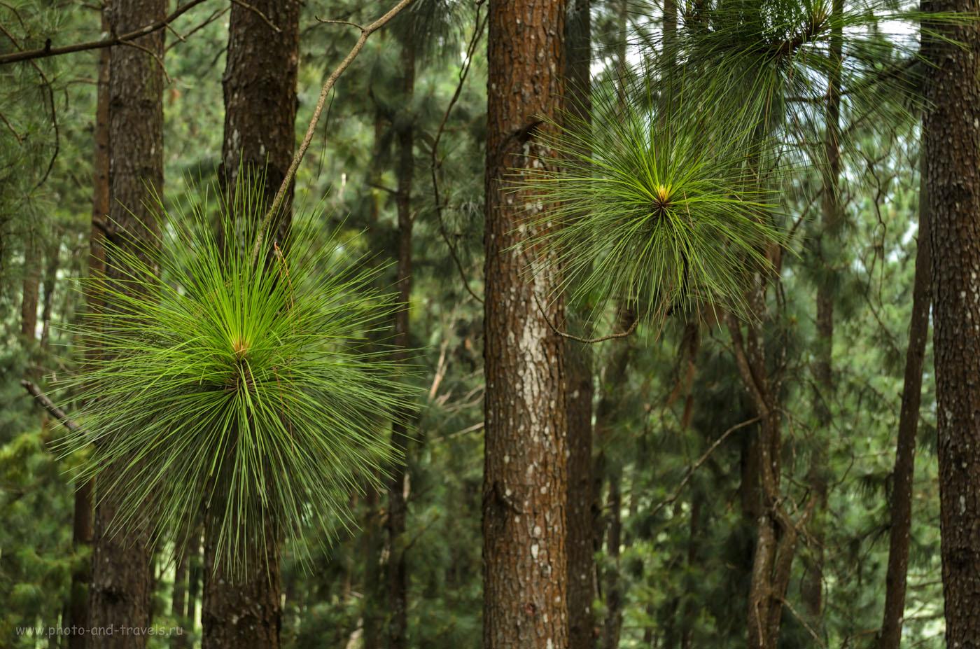 Фото 14. Хвойные лес в горах Шри-Ланке. Мы проезжали через него по дороге из Нувара Элия в Канди. Отчет о самостоятельном туре по стране на автомобиле.