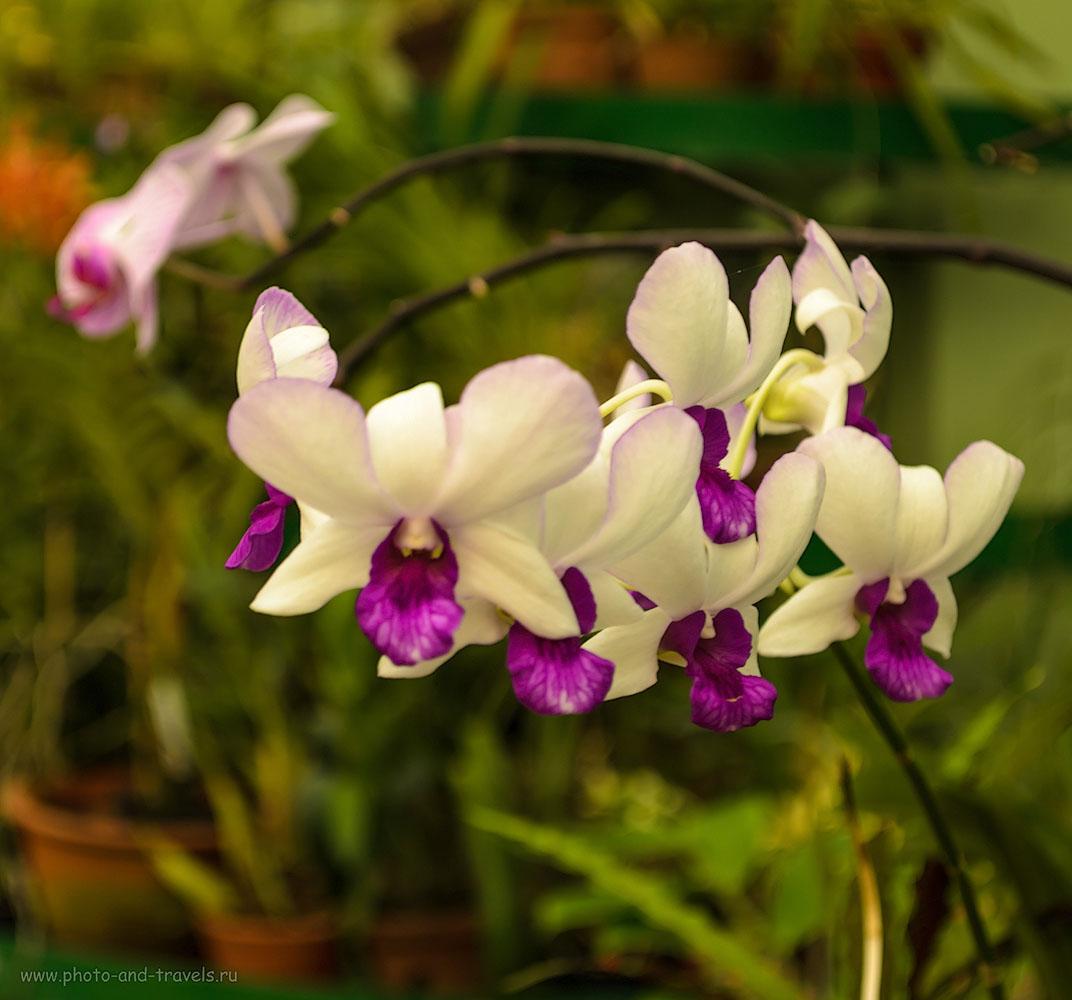 Фото 17. Орхидеи в оранжереях ботанического сада Перадения в Канди. Отзывы туристов об экскурсиях в Шри-Ланке.