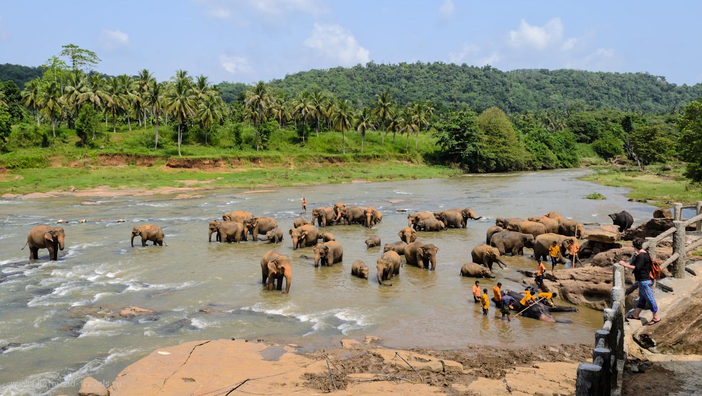Фото 15. Одна из интересных экскурсий в Шри-Ланке - наблюдение за купанием слонов в реке в деревне Пиннавела (слоновий приют Pinnawala Elephant Orphanage). Стоит ли ехать сюда на отдых? 1/200, 9.0, 100, 18.