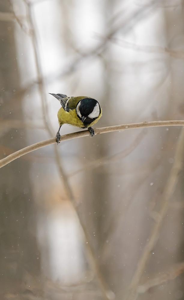 Фото 4. Фотоохота на птиц, при естественном свете в пасмурный день. Снято на фуллфрейм Никон D610 и Никон 70-200/2.8 с экстендером Никон TC-14E 2. Результат обработки NEF.