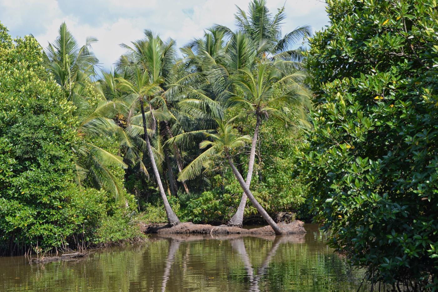 Фото 1. Пальмы на Шри-Ланке. Параметры съемки: В=1/200 сек., f/7.1, ISO 100, ФР=55 мм.