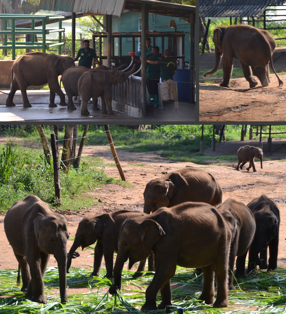 Фото 18. Кормление слонят и слонёнок на протезе. Отзывы о поездке в слоновий приют на Шри-Ланке с пляжа Унаватуна.