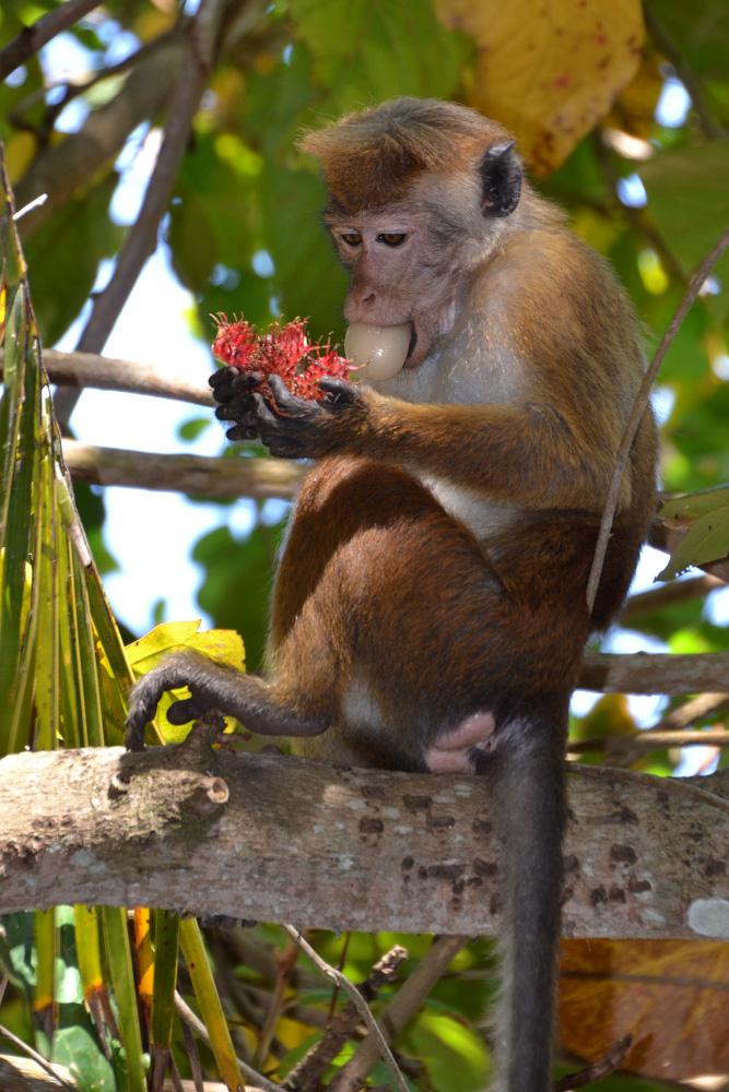 Фотография 6. Цейлонский макак. Кто из туристов не привозил из отпуска на Шри-Ланке фотографии этих человекообразных? 1/100, 5,6, 400, 85.
