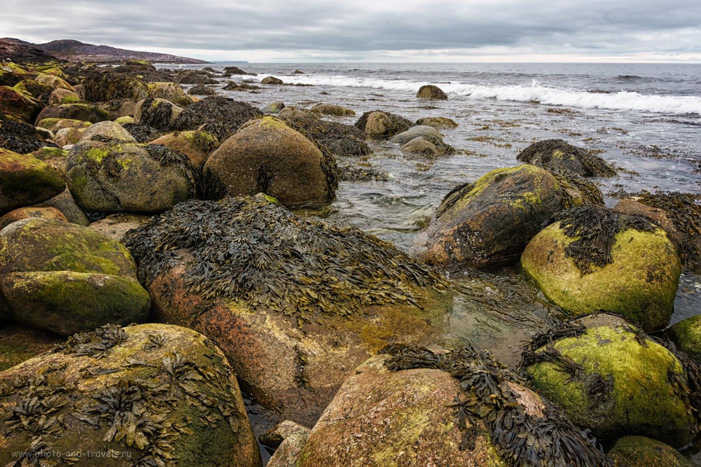 Фотография 17. Бурые водоросли на берегу Баренцева моря близ Териберки.