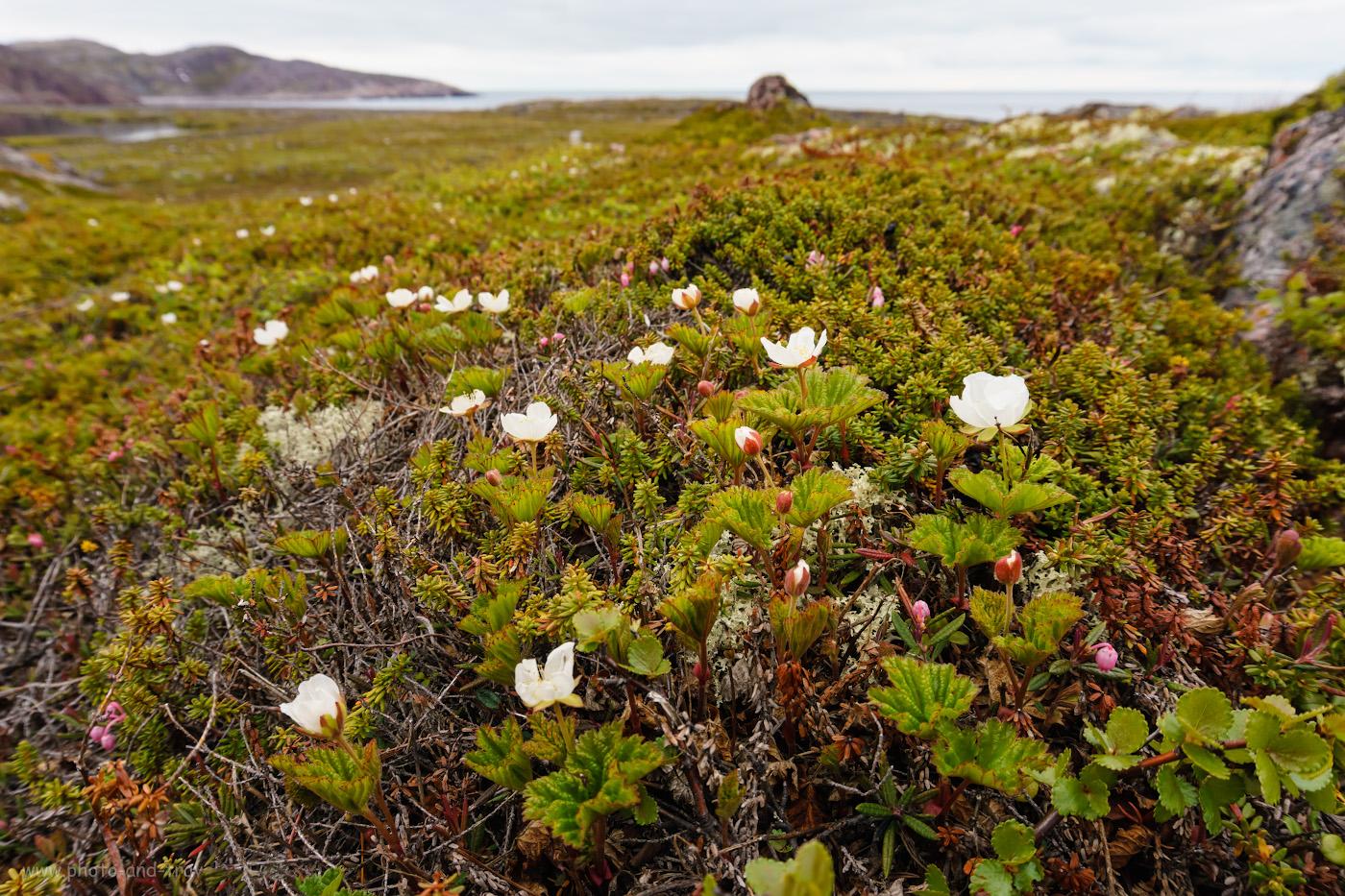 Фотография 24. Цветение северных ягод в тундре.