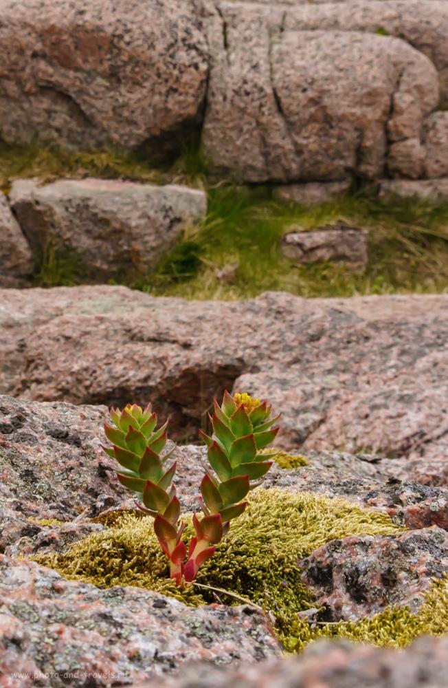 Фотография 35. Флора на побережье Северного Ледовитого океана.