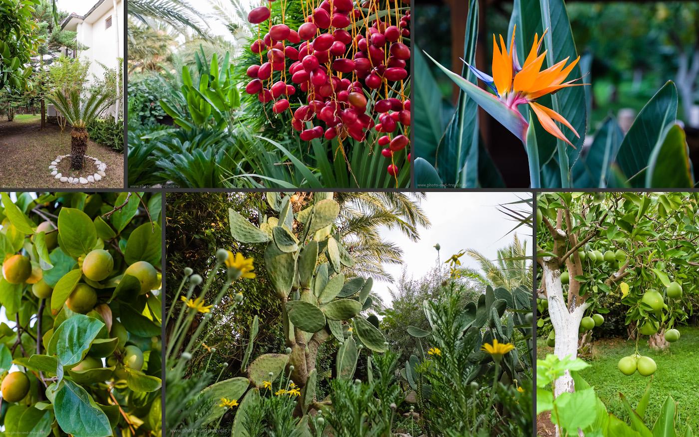 Фото 7. Такая растительность окружала наш домик в отеле Чиралы (слева вверху). В середине вверху – финики. Слева внизу – хурма. Справа внизу – то ли помело, толи грейпфрут.