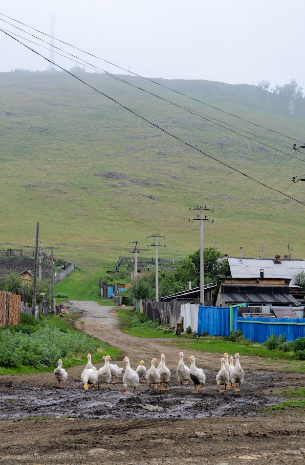 Фото 2. Местные жители в Башкортостане ходят гурьбой. Деревня где-то в районе села Старобайрамгулово, где можно подняться на хребет Нурали. 1/400, 8.0, 320, 50