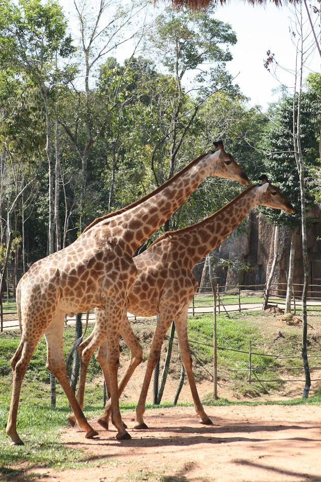 Фотография 28. Жирафы в Винперл сафари-парке (Vinpearl Safari Phú Quốc). Отзывы туристов об экскурсиях. 1/500, 8.0, 400, 80.