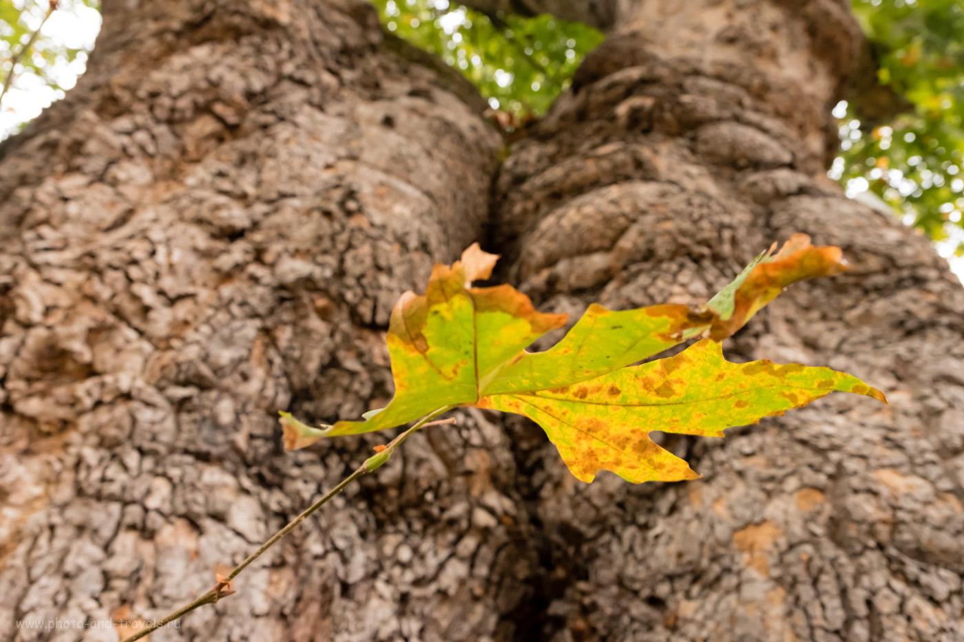 Фотография 21. Лист древнего дерева, которому 2500 лет. Самостоятельная экскурсия из Кемера. 1/15, 4.0, 3200, +0.33, 16.