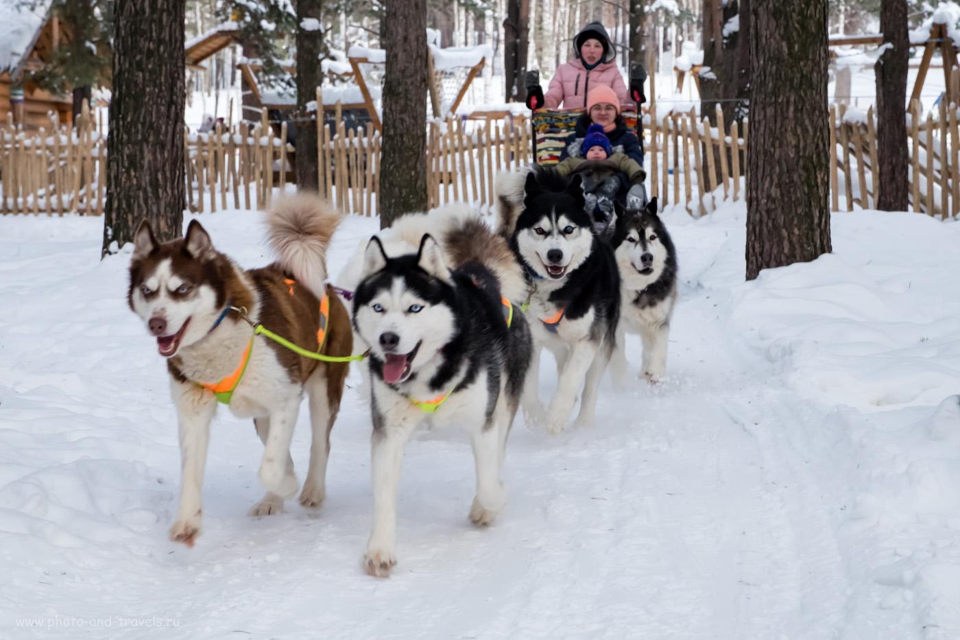 13. Если поедете в туристический поход в Слободу с детьми, по пути можно посетить Первоуральск, чтобы покататься в упряжке с лайками.