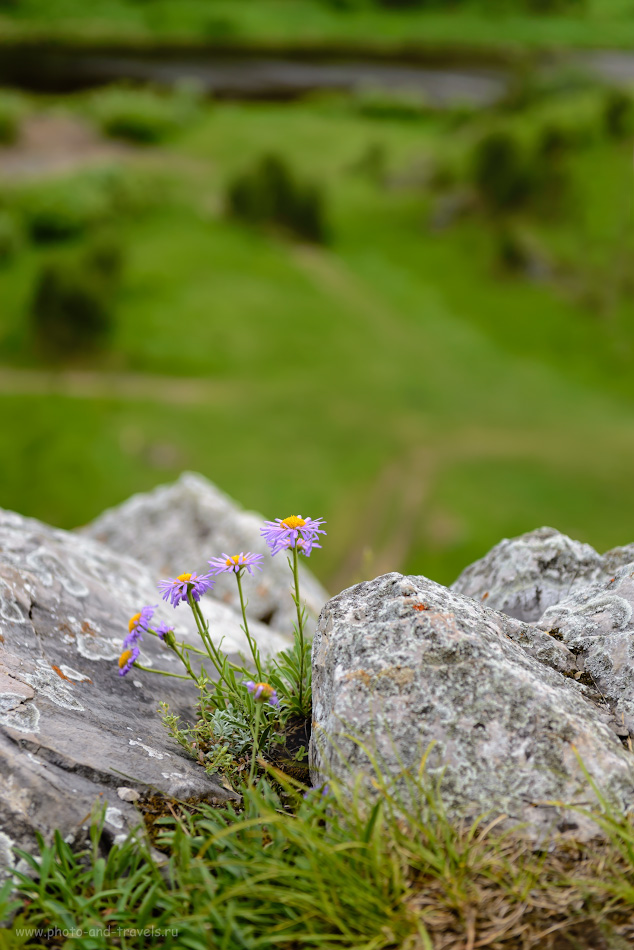 Фотография 9. Цветки астры альпийской на склоне Шайтан-камня в селе Арамашево. 1/500, 3.5, 250, 66.