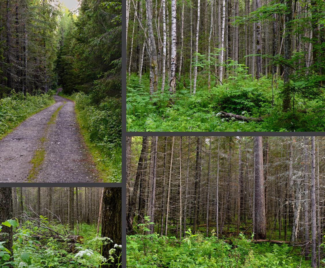 12. Так выглядит лес вдоль тропы к Омутному камню.