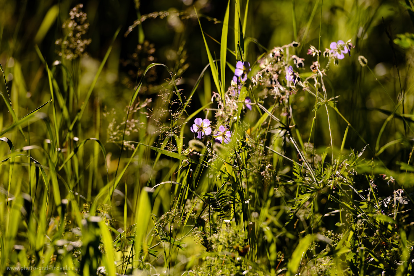 """10. Герань луговая в парке """"Оленьи ручьи"""". Как я прогуливался вокруг Аракаево. 1/800, 4.5, 100, 200."""