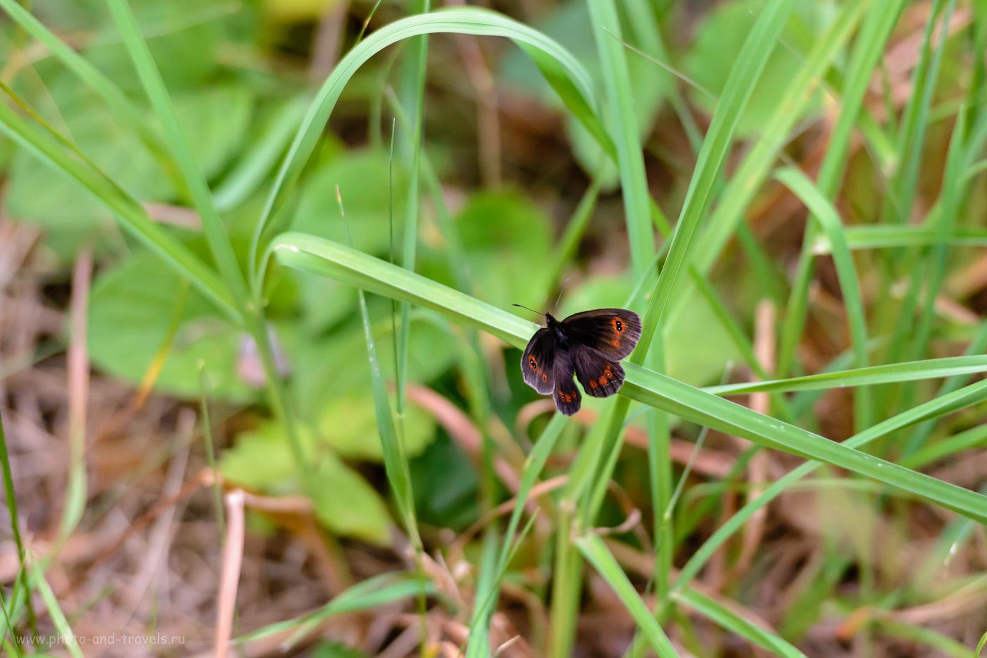 Фотография 8. Как я фотографировал бабочек в окрестностях Аракаево. 1/400, 2.8, 1600, 200.