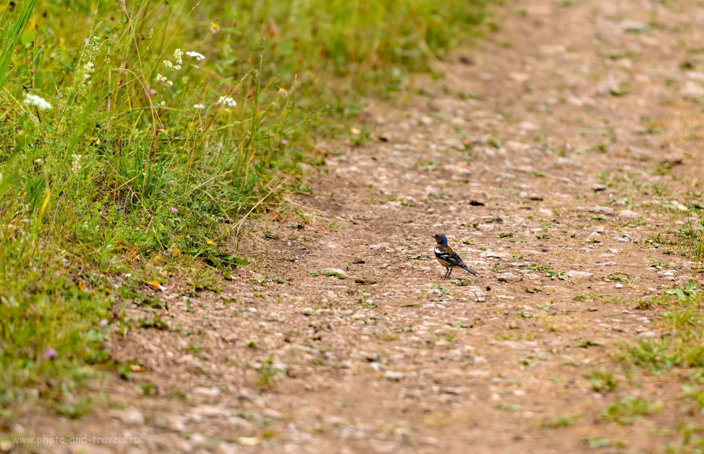 7. Фотоохота на птиц в парке «Оленьи ручьи». Одинокий зяблик. 1/400, 2.8, 320, 200.