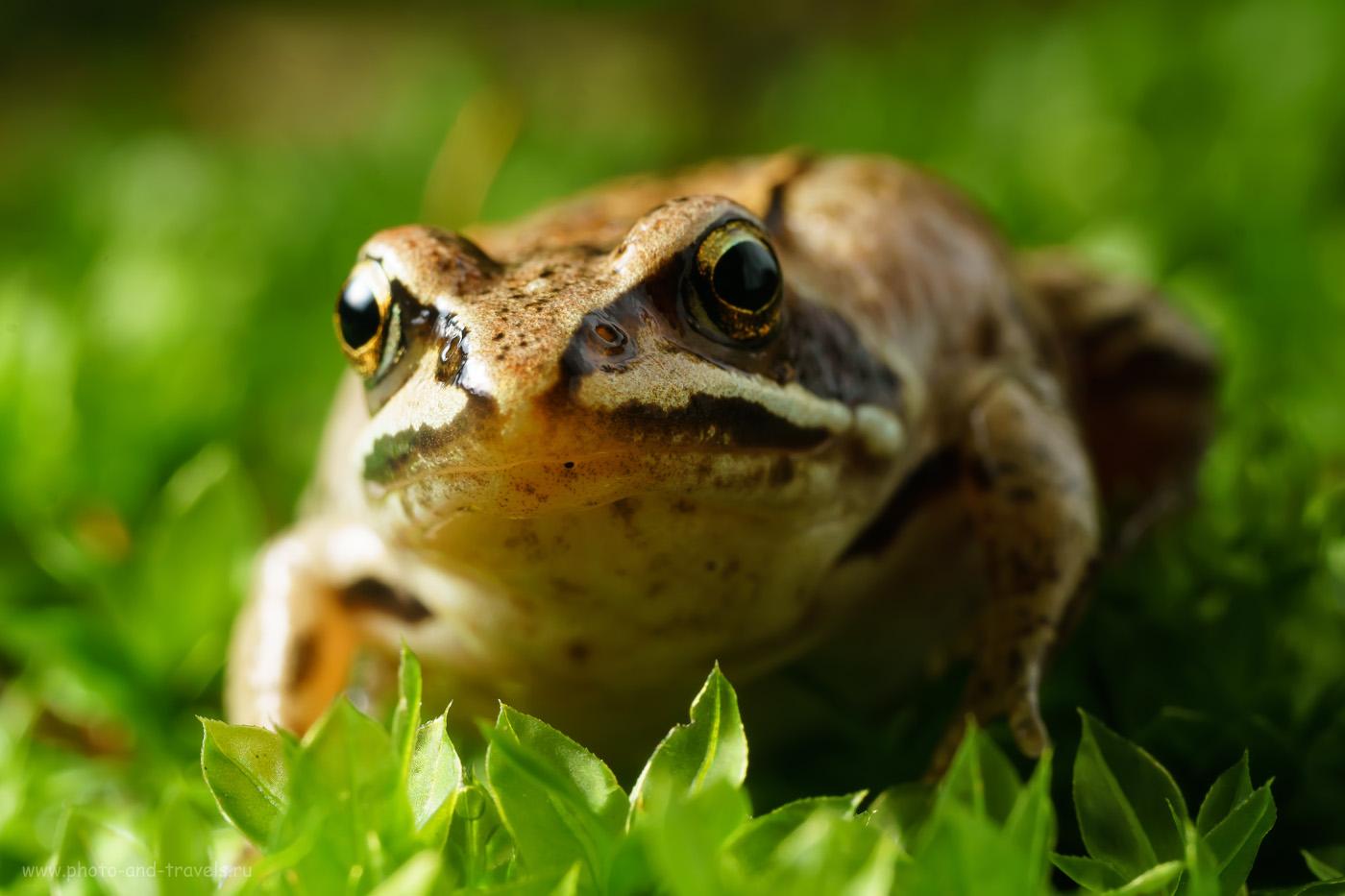 10. Макросъемка лягушек на объектив от фотоувеличителя Вега-11У с камерой Sony A6000. Настройка: 1/60, 200.