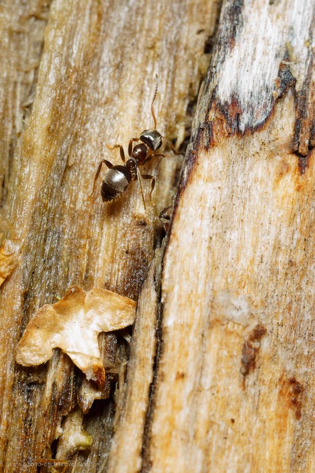 29. Макросъемка муравьев. Какой объектив выбрать? Я снимал на Вега-11У и Sony A6000. Параметры фотографии: 1/20, 400.