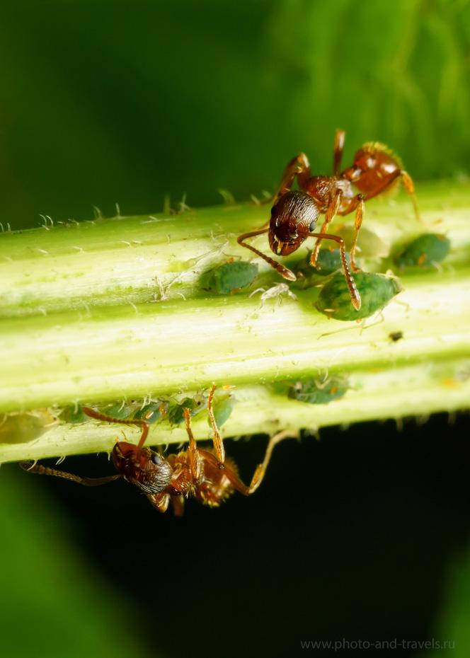8. Пример съемки муравьев объективом Вега-11У на КРОПнутой камере Sony A6000. Параметры: 1/60, ISO 800, f/11.