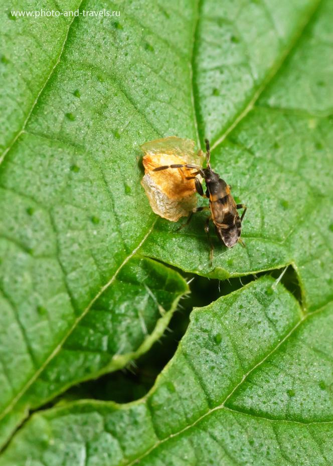 34. При фотоохоте на мелких насекомых они входят в зону ГРИП и получаются резкими во весь рост. На фото – орешек сережки березы и какая-то неведомая мне букашка, сидящая тоже на крапивном листе. Снято на Sony A6000 с Вега-11У. Параметры: 1/60, 800.
