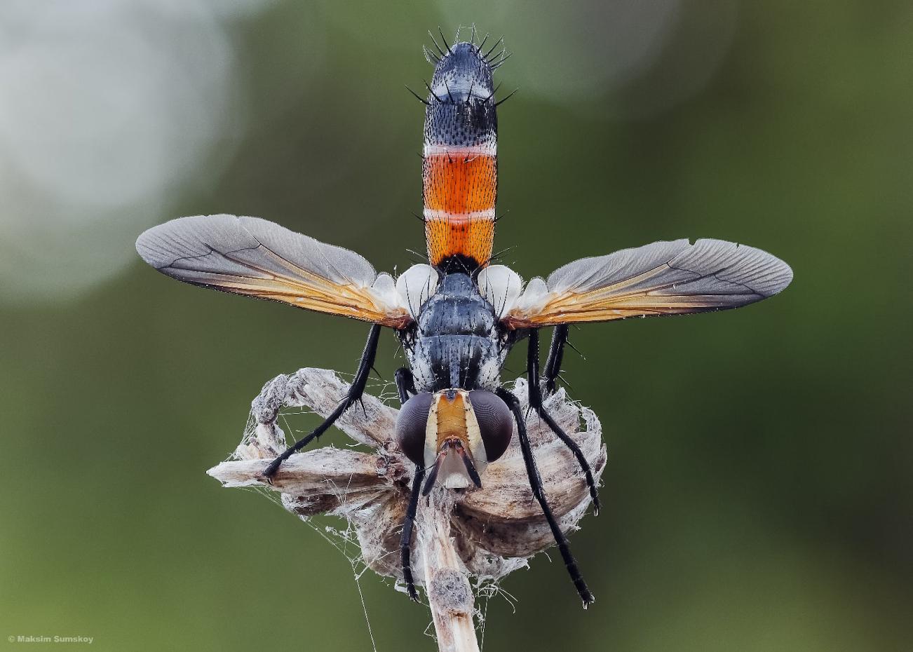 Фото 36. Ежемуха фонарик (Cylindromyia). Снято на зеркалку Кенон 650Д с объективом Вега-11У. Стек из 98 кадров. Макрорельсы Velbon Super Mag Slider. Естественное освещение.
