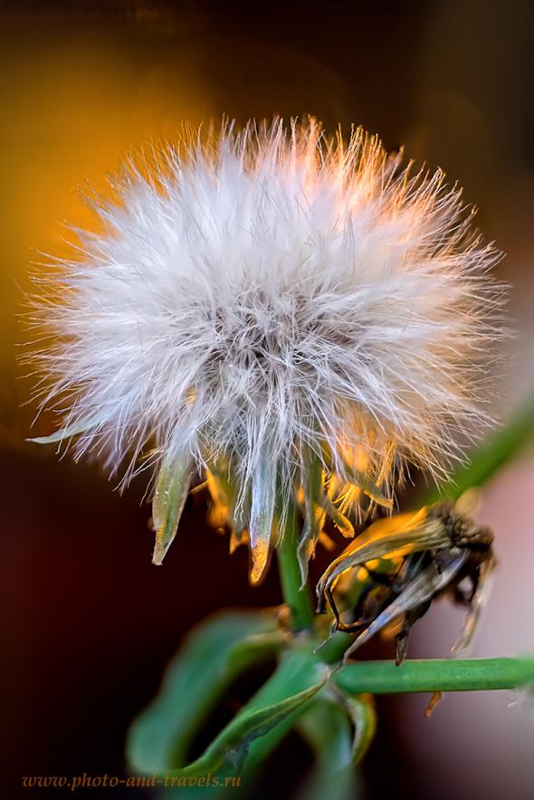 38. Пример съемки паппуса осота огородного (Sonchus oleraceus) со стекингом по фокусу и сборки кадров в Photoshop. Объектив Вега-11У (без макроколец), тушка Fujifilm X-T10. Настройки: В=0,5 сек., ISO 200.