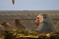 Obez'jany vo frankfurtskom zooparke fotografirovalis' takzhe na krop Nikon D5100 i teleob#ektiv Nikon 70-300.